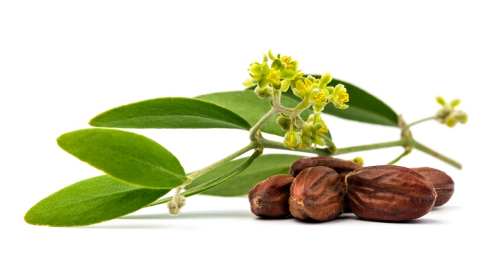 jojoba plant and its uses Jojoba oil is a safe and natural moisturizing oil with a long list of benefits for hair, face, body the southwestern us is used to cultivate jojoba plants for.